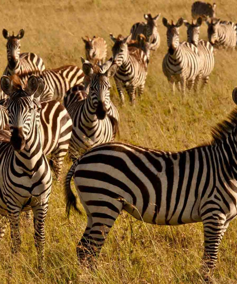 kenya-wildlife-zebra-copyright-will-bolsover